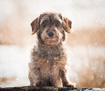 Teckel in de sneeuw van Lotte van Alderen