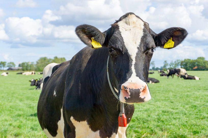 Hollandse koeien van Anjo ten Kate