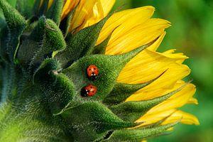 2 Lieveheersbeestjes op Zonnebloem van George Burggraaff