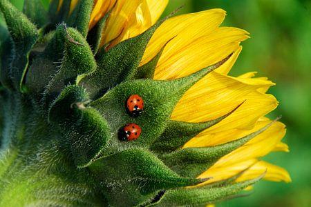 2 Lieveheersbeestjes op Zonnebloem