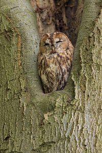 Bosuil zit in een boom te rusten.