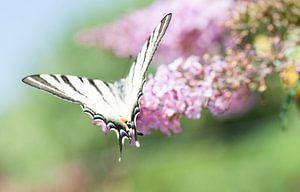 Segelfalter, der schönste Schmetterling auf Schmetterlingsbusch von Jacqueline Groot