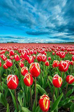 Veld met roodgele tulpen van Jenco van Zalk