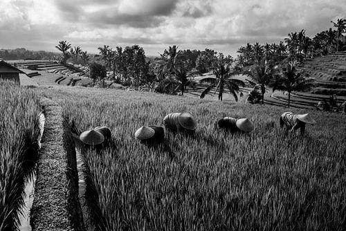 Zwart wit foto van arbeiders in rijstveld Bali