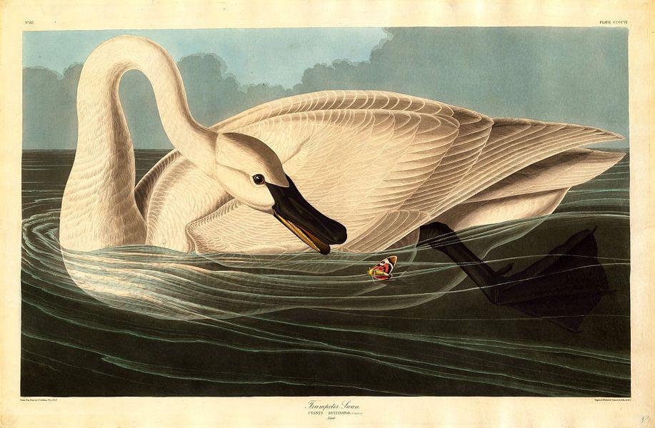 Trompetzwaan, Cygnus buccinator, Robert Havell naar John James Audubon van Liszt Collection