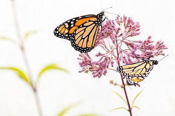 zwei Monarch-Schmetterlinge von Petra Brouwer