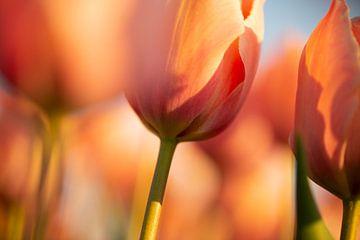 zacht oranje tulp van Astrid Volten