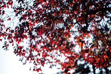 Rode boom in de herfst bij zonsondergang van John Ozguc
