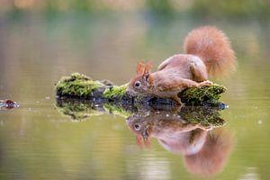 Eekhoorn met weerspiegeling van