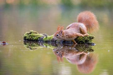 Eekhoorn met weerspiegeling van Gonnie van de Schans