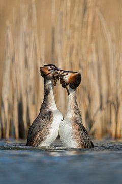 Haubentaucher ( Podiceps cristatus ) balzen, in der Balz, Hochzeitstanz, Pinguinpose, Pinguintanz,   von wunderbare Erde
