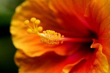Macro oranje bloem