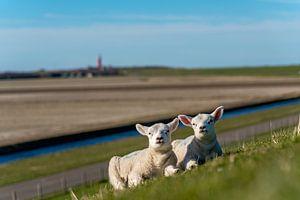 Les agneaux de Texel profitant du soleil