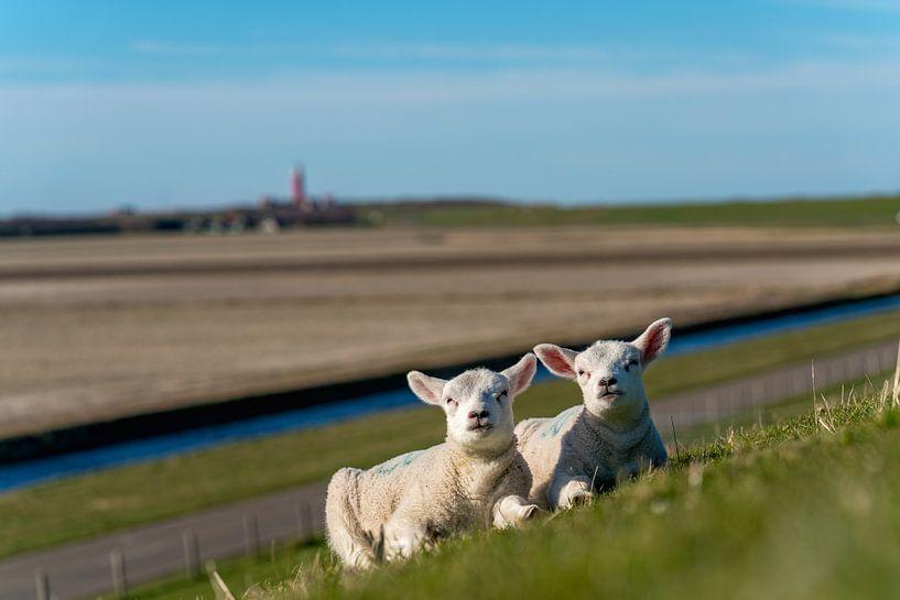 Les agneaux de Texel profitant du soleil sur Texel360Fotografie Richard Heerschap