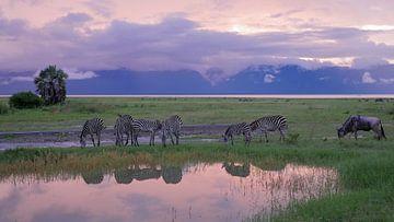 Zebra's drinken uit de waterpoel bij zonsondergang in Afrika van Robin Jongerden