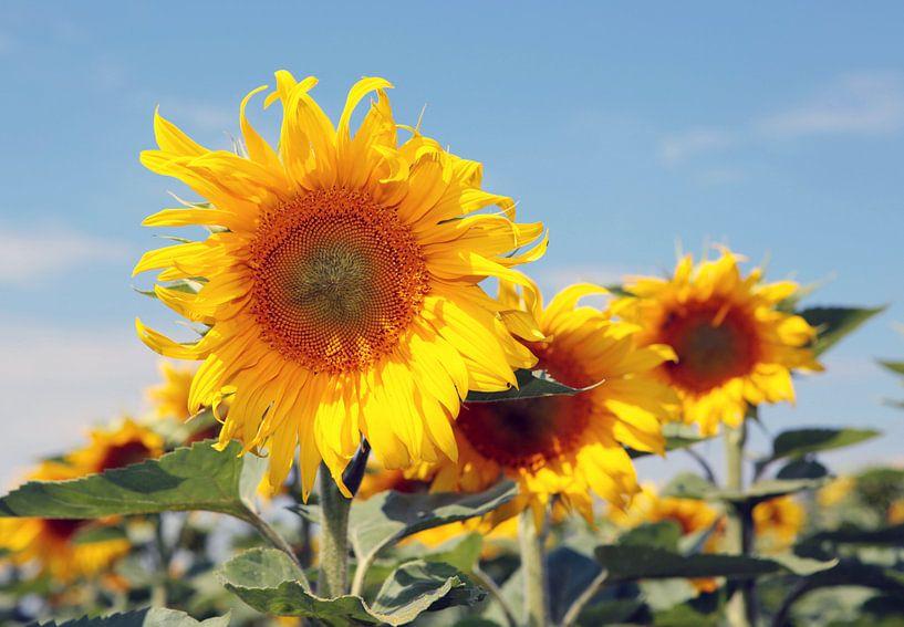 Die Pracht der Sonnenblumen von Rudolf Brandstätter