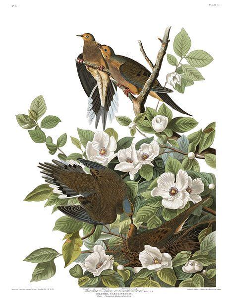 Treurduif van Birds of America