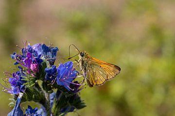 Vlinder op een paars blauwe bloem van