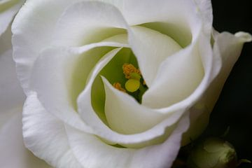 Herz einer weißen Rose - Naturfotografie von MDRN HOME
