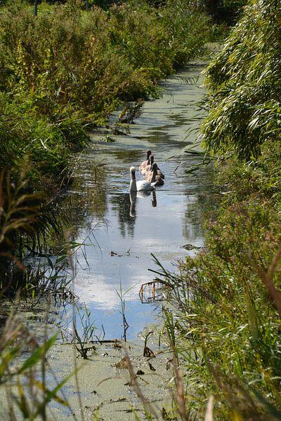Zwaan met de jonge zwanen van FotoGraaG Hanneke