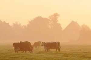 Koeien in weiland (Friesland)