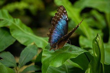Vlinder van Kyra Hoekema
