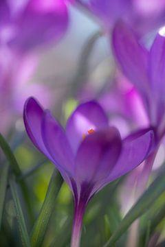 Die erste im Frühjahr blühende Pflanze dehnt ihre Blüte zur Sonne aus von