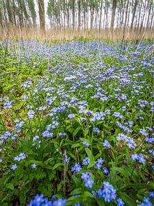 Blauwe lente
