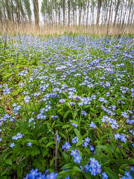 Blauwe lente van