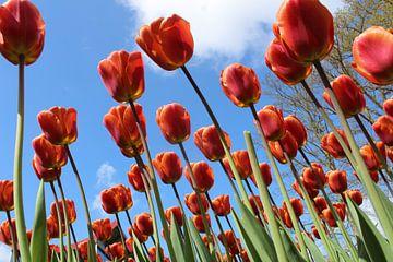 Tulpen in bloei van Geert Heldens