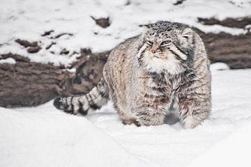 Trots op de achtergrond van een logboek. Ernstige, wrede, pluizige, wilde kattenmanoeuvre op witte s van Michael Semenov