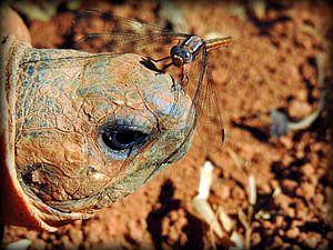 Strahlenschidkröte aus Madagaskar von Katharina Wieland Müller