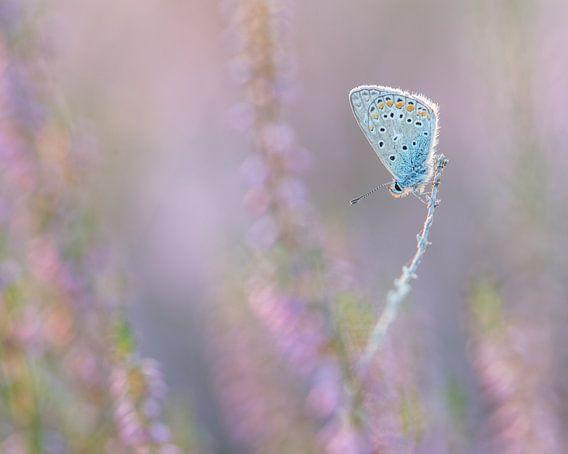 In de hei / blue butterfly in purple heather