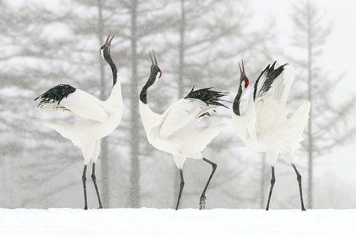 Japanische Kraniche im Schnee (Sound Battle) von Harry Eggens