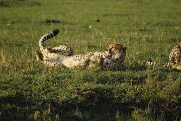 cheetah van Laurence Van Hoeck
