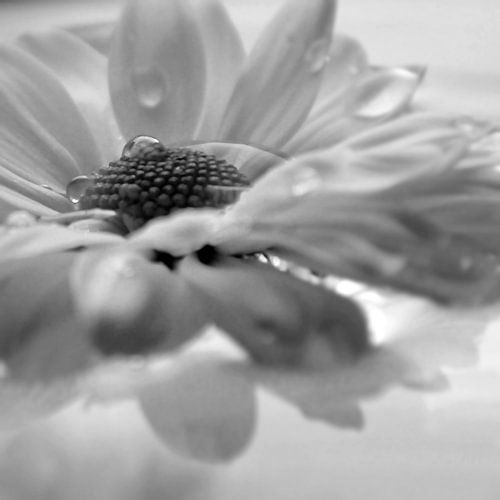 WATER FLOWER - BLACK AND WHITE