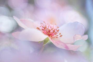 Dreamrose von Christl Deckx