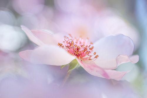Dreamrose van