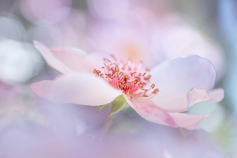 Dreamrose van Christl Deckx