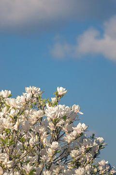 White magnolia von Alessia Peviani