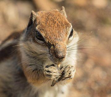 Eichhörnchen mit Erdnuss von Anita van Gendt