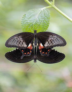 Schmetterling-Duo von Esther Bakker-van Aalderen