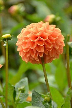 een mooie oranje Dahlia in Denemarken von tiny brok