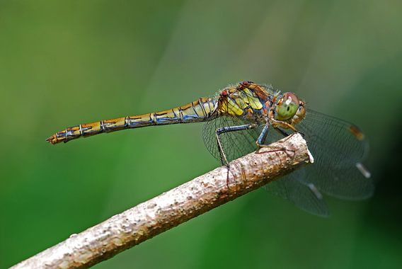 Heide libelle op tak van Gabsor Fotografie