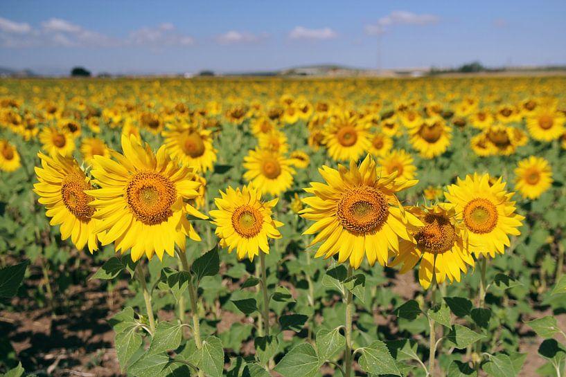 The Sunflowerfield van Cornelis (Cees) Cornelissen