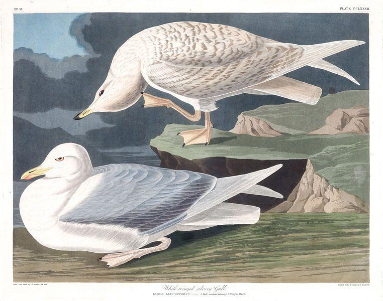 Polarmöwe von Birds of America