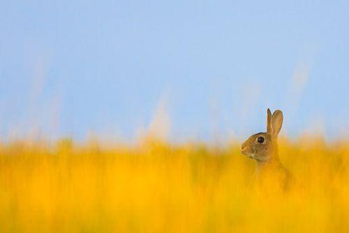 Een konijn in een mooi veld met geel gras.