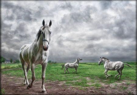 Weiße Pferde in der Weide
