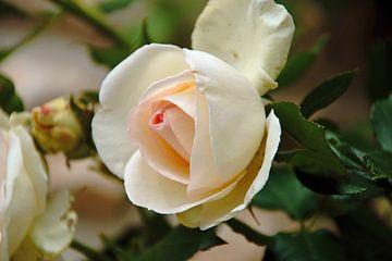 einzelne Rose von wil spijker