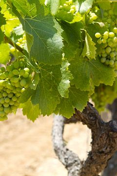 Druivestokken in een wijngaard in Zuid-Frankrijk (3) van rene marcel originals